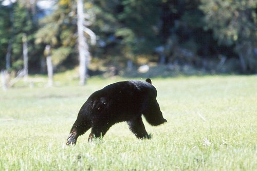 1577-13-20Black-20Bear-20running-20in-20PWS